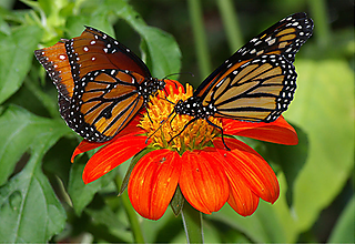 Two-monarch-butterflies